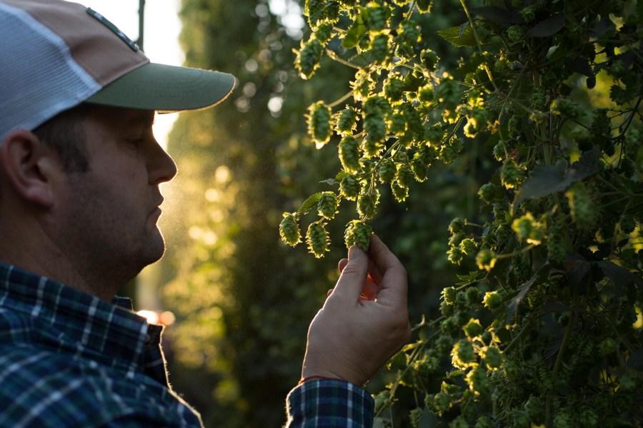 La primera cosecha de lúpulo en Bariloche. (Foto: gentileza)