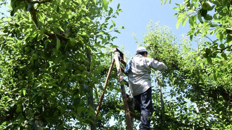 Roca - Estado de cosecha - frutas Manzanas y Peras - tareas de raleo - obrero de la fruta . (Foto: archivo)
