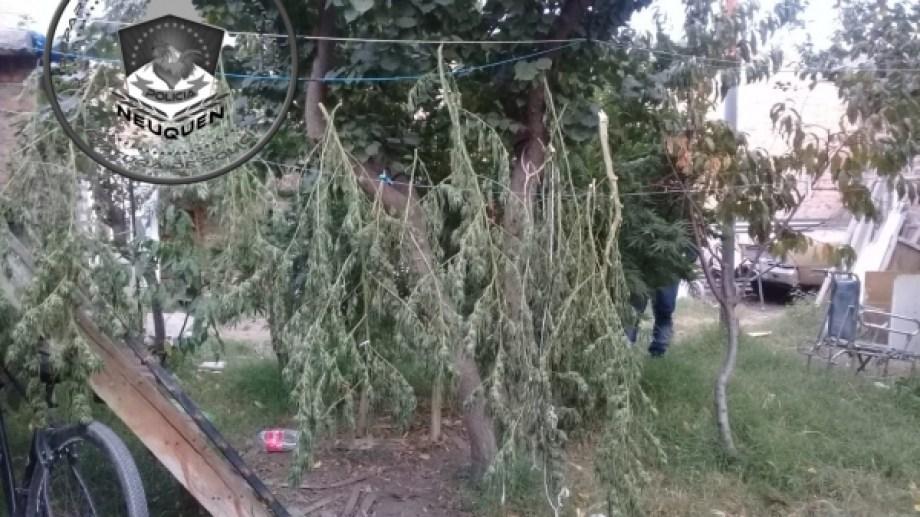 La policía encontró plantas que oscilaban los tres metros de altura. (Foto: Gentileza.-)