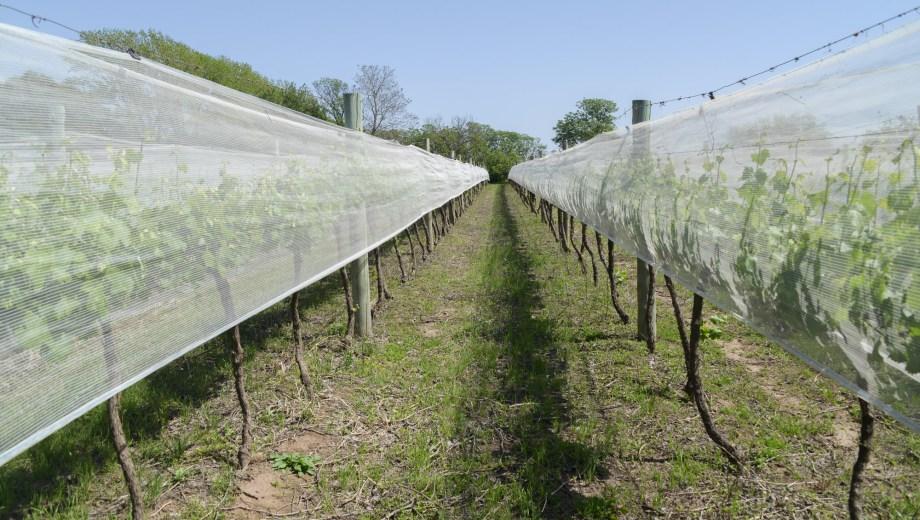 Las malas permiten proteger la fruta cuando está en plena cosecha. Foto gentileza secretaría de Agroindustira
