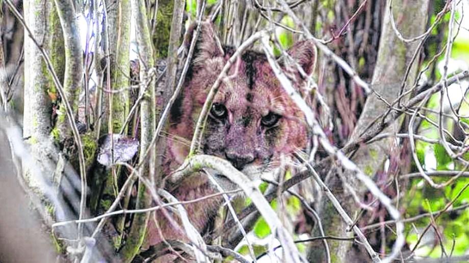 El puma es el enemigo de todos los que, en los campos, cuidan sus rebaños o vacadas.
