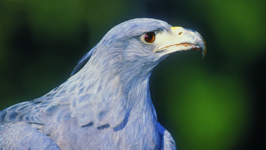 Águila Coronada (Harpyhaliaetus coronatus). Gentileza Áreas Naturales Protegidas de  Neuquén.
