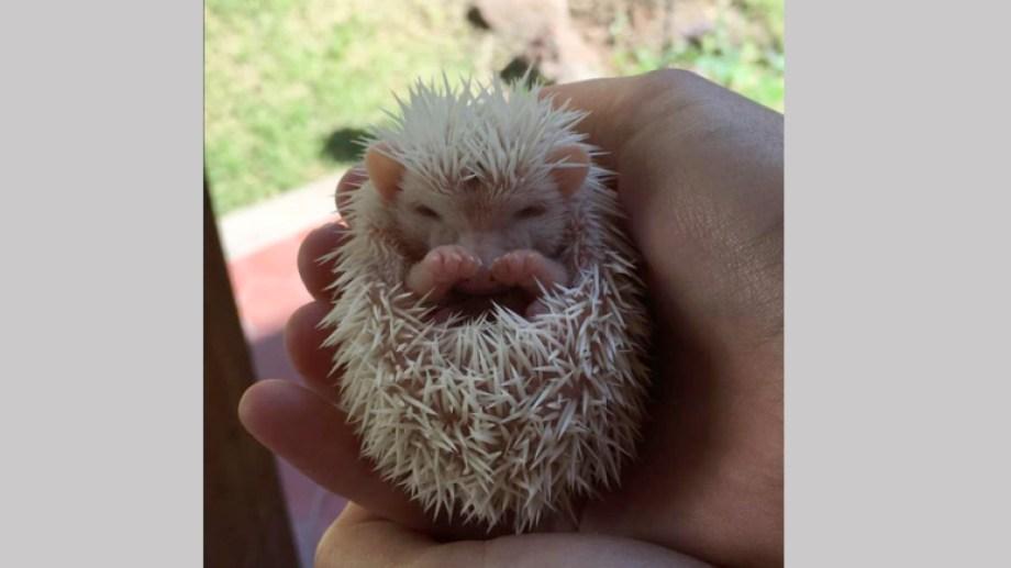 El pequeño mamífero con púas. Foto: Facebook