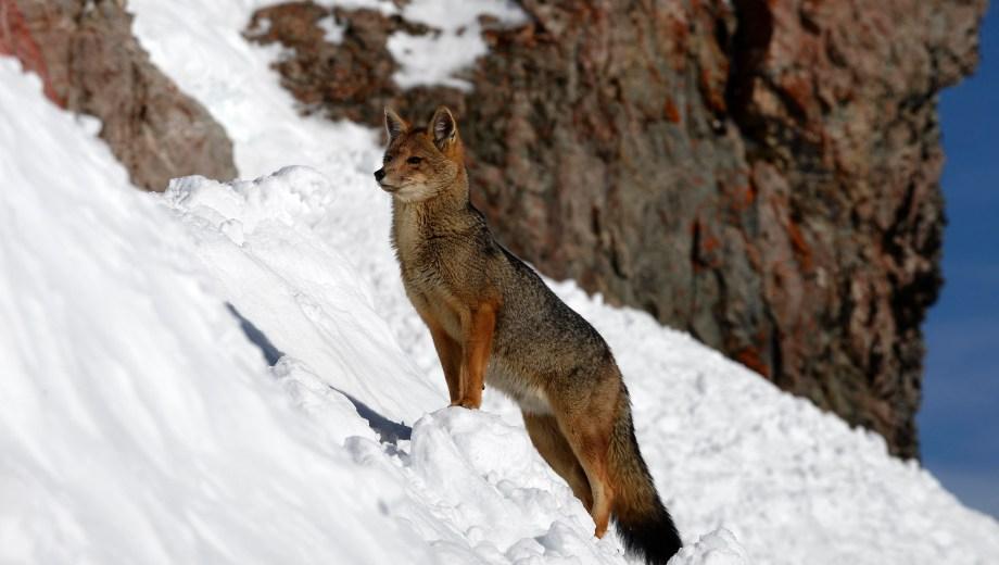 El pequeño zorro colorado merodea entre los turistas en la zona del Refugio Lynch. (Foto: Alfredo Leiva)