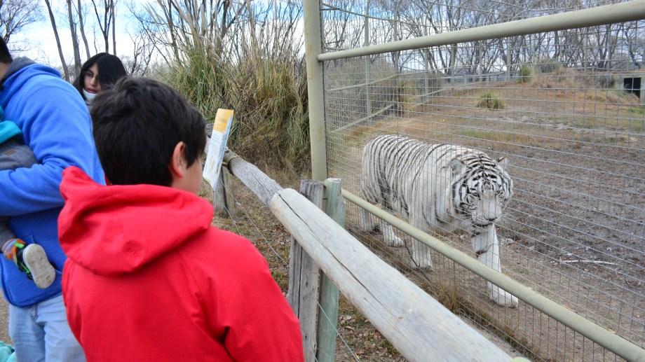Los tigres de Bengala son los preferidos de los chicos. (Foto: Alejandro Carnevale)