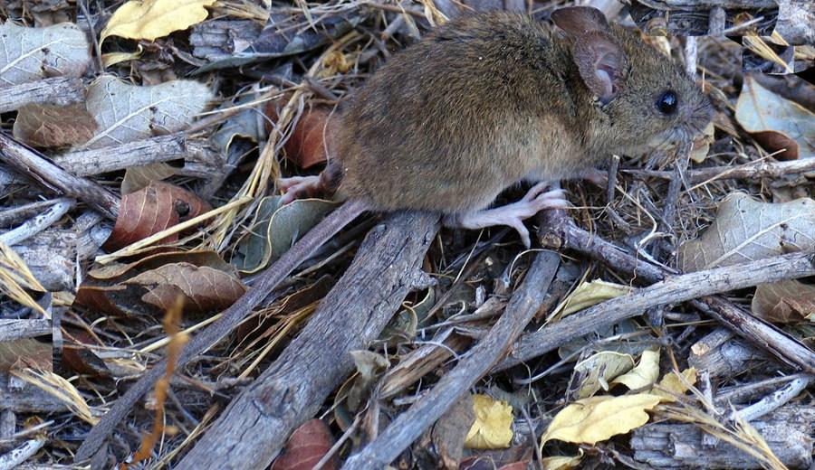 Se estima que ahora hay 1500 ratones por hectárea, sobre un promedio general de diez.  (Foto: Wikipedia)