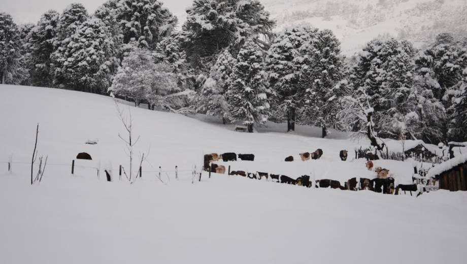Los animales quedaron atrapados en medio de la nieve en la zona de Aluminé. (Foto: Gentileza Reflejo neuquino)