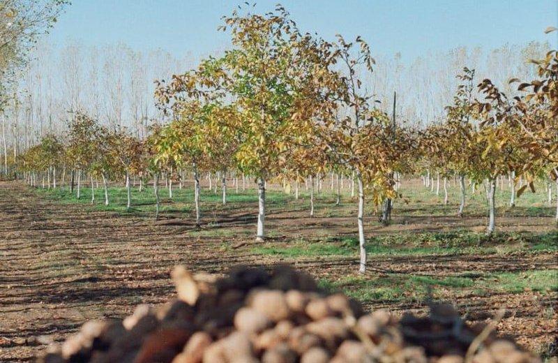 La producción de nueces de Picún Leufú tiene una década. Foto ministerio de Producción de Neuquén