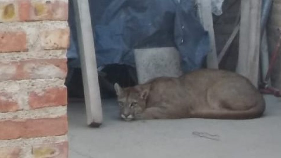 El puma fue encontrado ayer en el patio de una casa. (Gentileza).-
