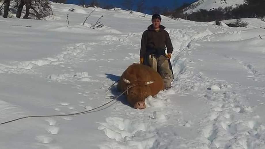 Las últimas dos vacas las hallaron 11 días después de empezar a buscarlas. Estaban en un cañadon, cansadas y hambrientas. Tardaron 4 días en ese rescate: cavaron un camino de un km y dos metros de alto para que volvieran al puesto