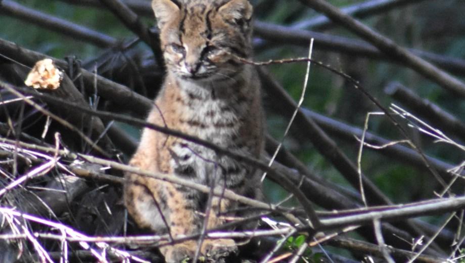 El gato huiña es de difícil avistaje pero fue retratado en el parque Llao Llao. (Gentileza Daniel Permarini)