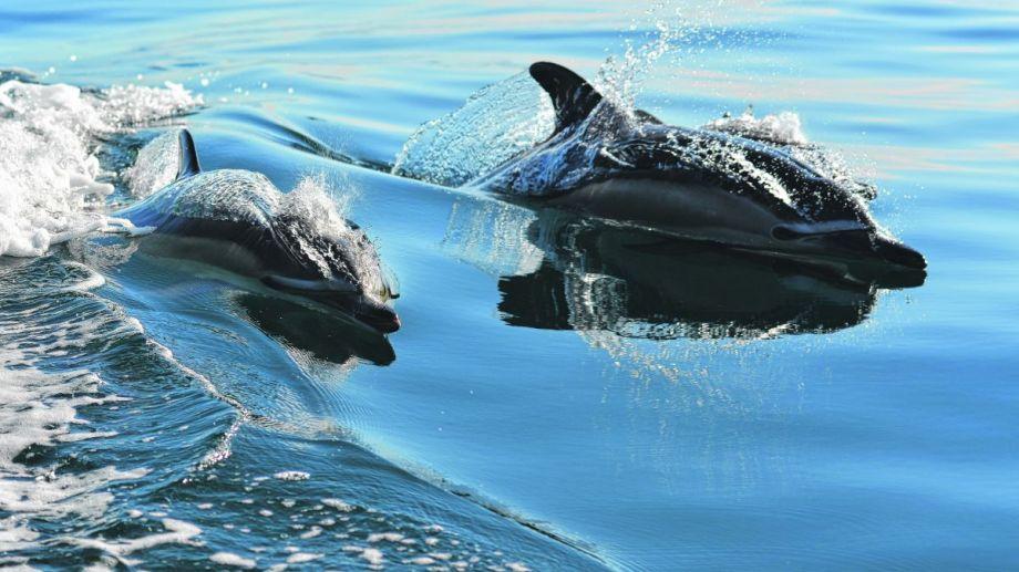 Curiosos y juguetones. Así describe a los delfines.