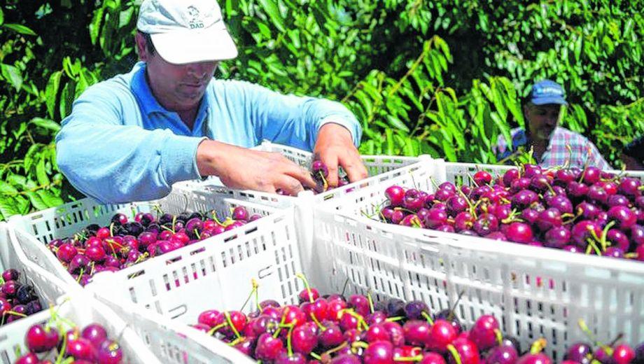 En la última temporada Río Negro participó de un 20% del volumen total de cerezas exportadas. Neuquén del 16%.