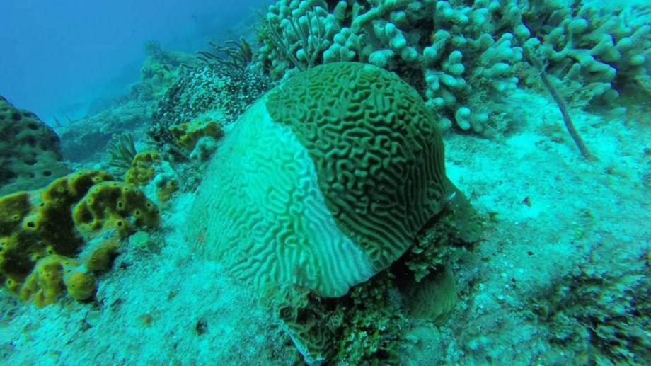 Síndrome blanco en los corales del Caribe.