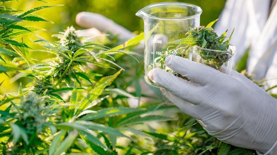 El aceite de cannabis logró una gran reducción de crisis en niños con epilepsia.