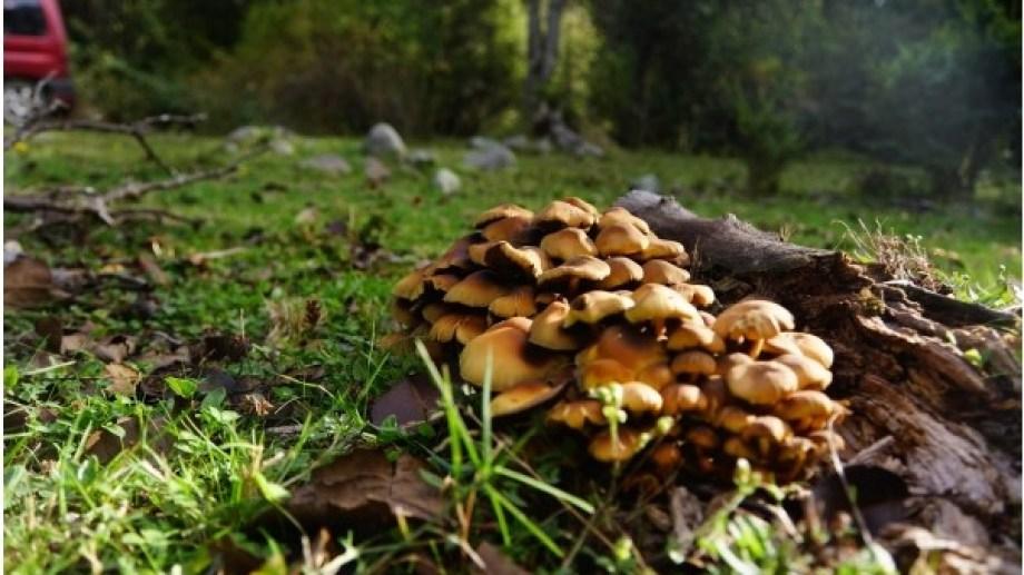 Salud Ambiental emitió recomendaciones para el consumo de hongos silvestres. Archivo