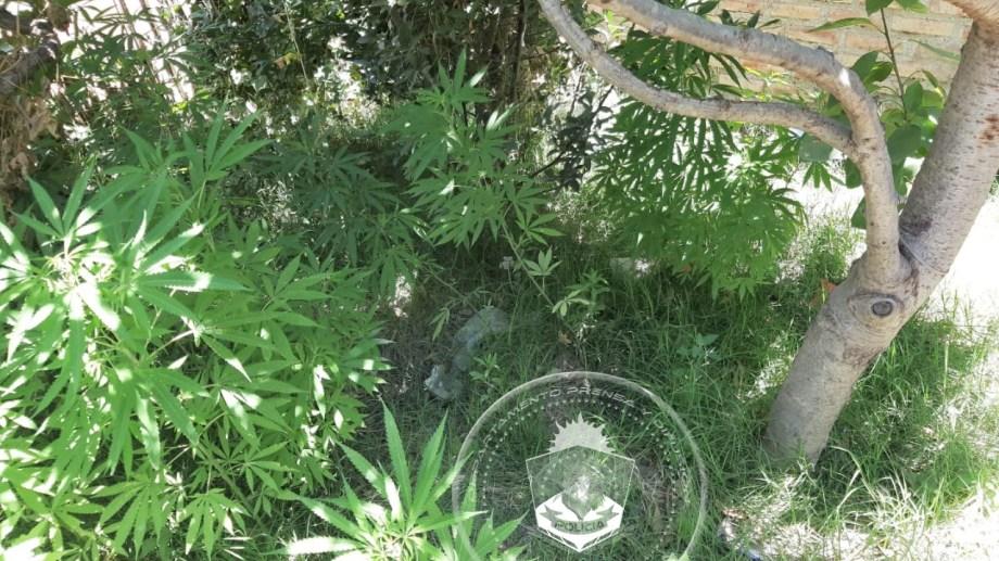 Las plantas de marihuana que fueron secuestradas por la policía. Foto: Prensa Policía.