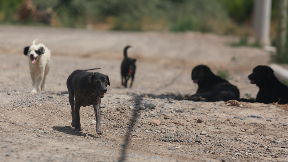 La Municipalidad evalúa estrategias para controlar los animales sueltos. (Foto Juan Thomes)
