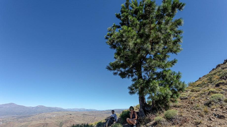 El pino guacho en Huinganco, norte neuquino. Fotos de Ricardo Kleine Samson.