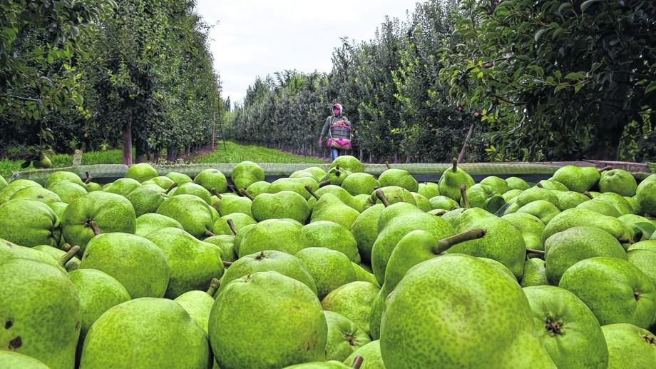 Dentro de las variedades de peras, William's es la más importante de la región por volumen a comercializar. (Foto: Néstor Salas)