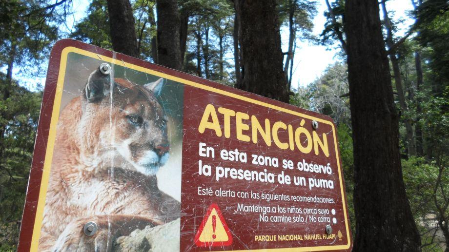 Los pumas habitan el parque Nahuel Huapi por eso no es algo inédito que dejen rastros en los senderos de montaña.