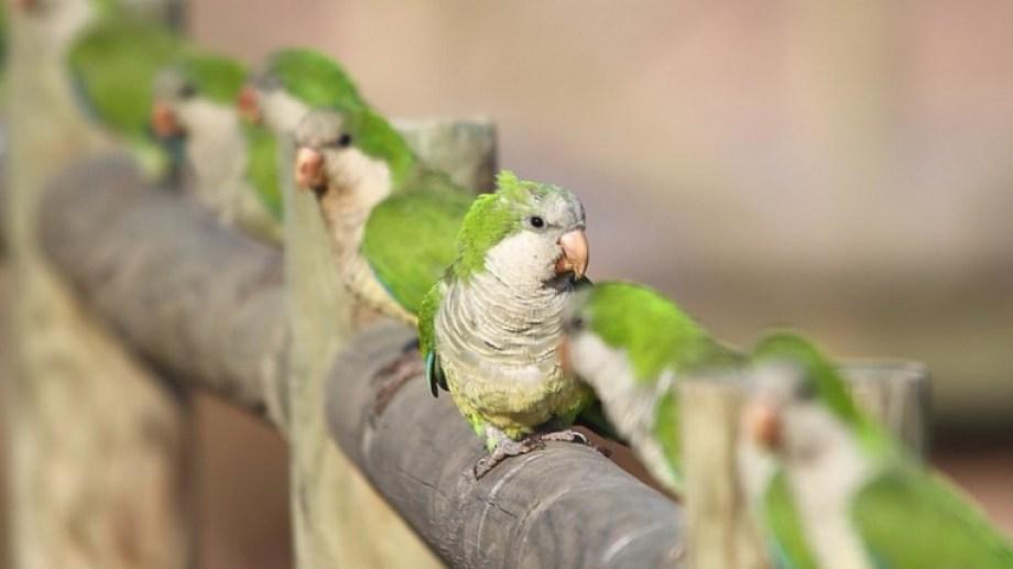 Las aves infectadas pueden presentarse decaídas, con pérdida de peso, conjuntivitis, diarrea, dificultad respiratoria o muerte.