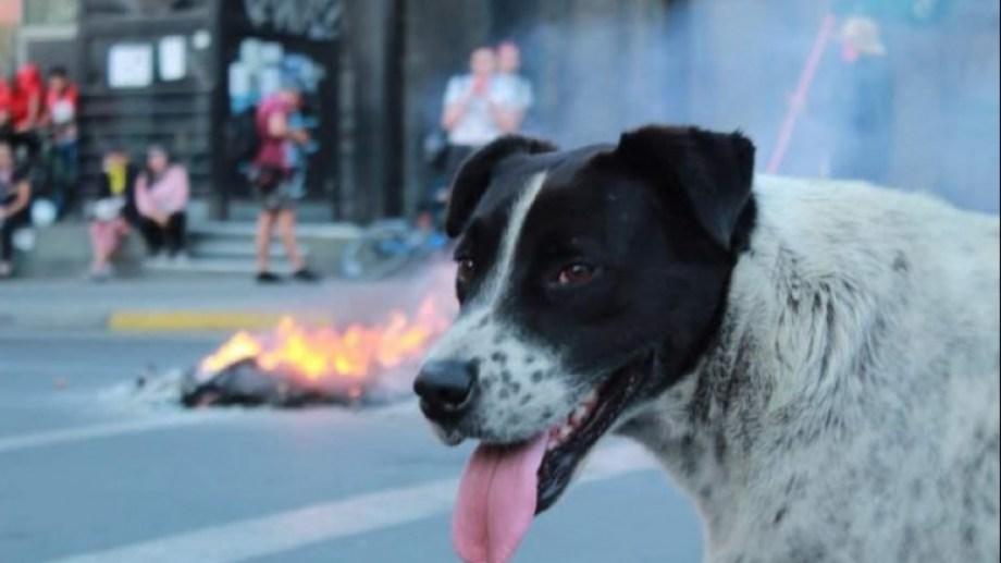 """""""Vaquita"""", el perro símbolo de las manifestaciones en Antofagasta. Foto: Gentileza Diario Antofagasta"""