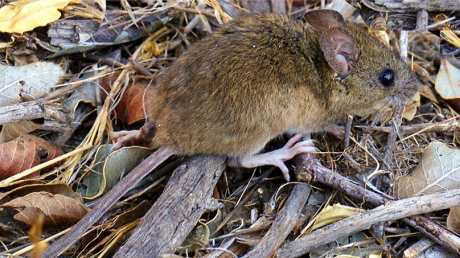 El hantavirus es transmitido por el ratón colilargo que habita la cordillera. Archivo