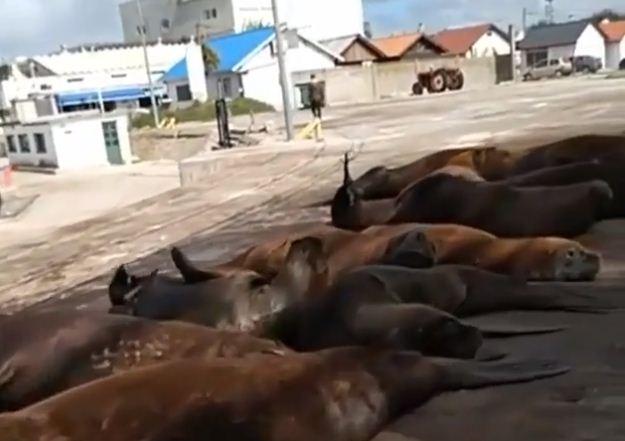 Los lobos marinos coparon las calles del puerto de Mar del Plata