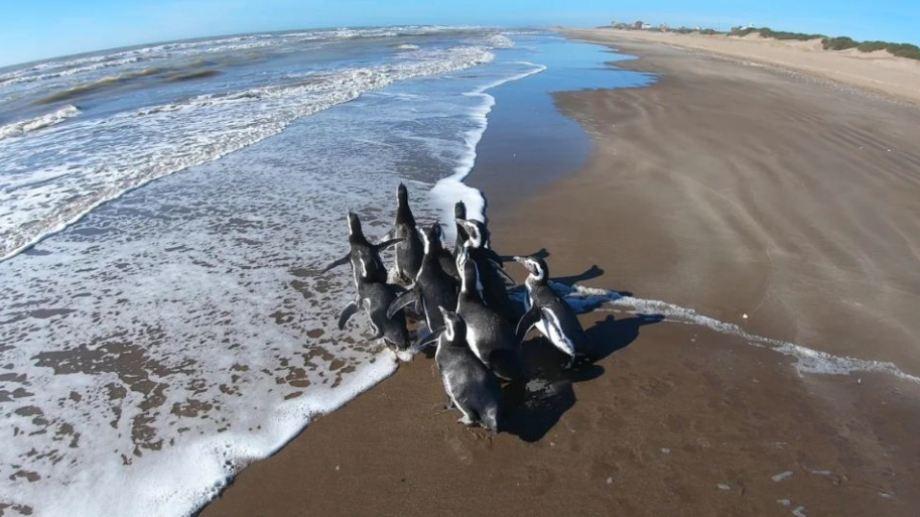 Fueron encontrados desnutridos y anémicos en Pinamar, Villa Gesell, Mar de Ajó y San Clemente del Tuyú. Tras recuperarse, volvieron al mar el domingo 19 de abril.