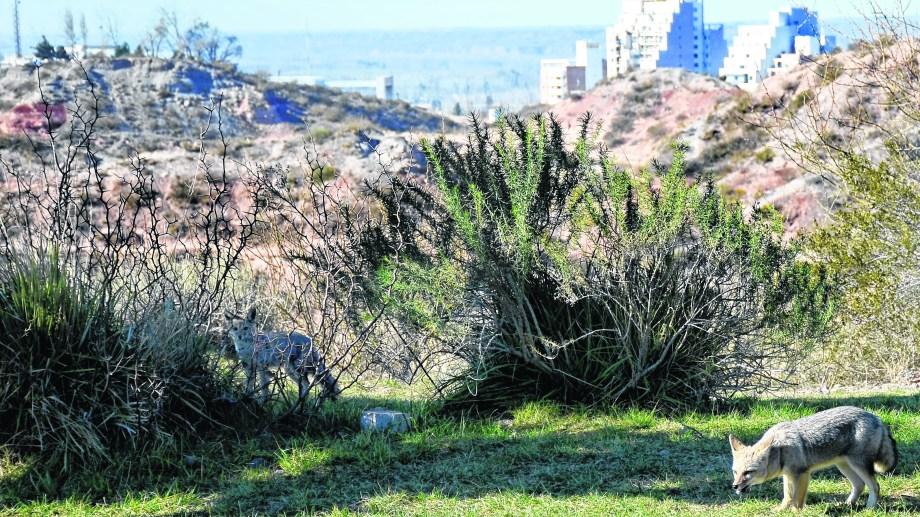 Las guardias ambientales deberán proteger la flora y la fauna de la ciudad de Neuquén. Foto: Mauro Pérez