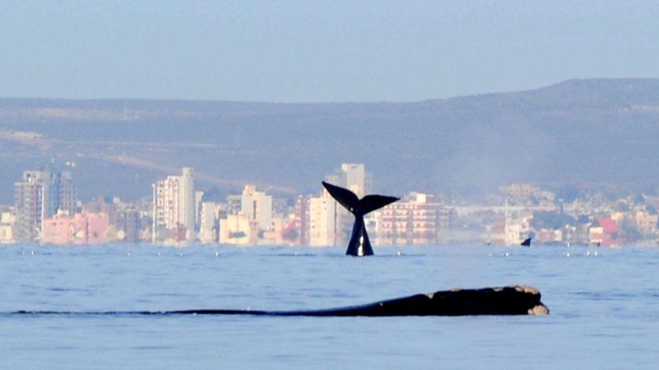 Puerto Madryn: llegaron las primeras ballenas, sin turistas para recibirlas