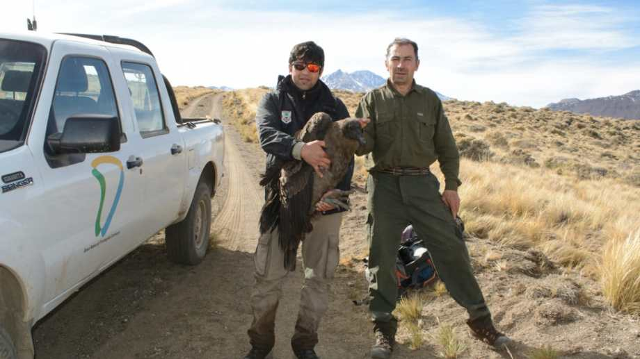 El guardafauna Martín Muñoz y el guardafauna Daniel Castillo tras el rescate en el Cajón del Covunco, en el norte neuquino. Trasladaron el cóndor a Varvarco.