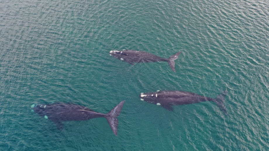 Las tres ballenas francas captadas hoy por un drone a unos 300 metros de la costa de Las Grutas, Río Negro, Patagonia. Foto: Sebastián Leal