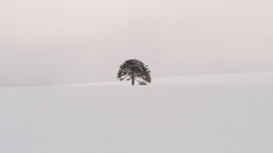 Julio del 2002. Una araucauria a 400 metros del parque de nieve Batea Mahuida en Villa Pehuenia Moquehue, Neuquén. Foto de Alejandro Carnevale