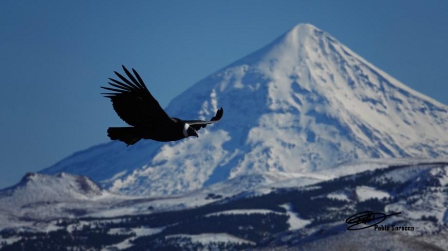 Dos íconos de la Patagonia: el cóndor y el volcán Lanín. Foto: Pablo Saracco