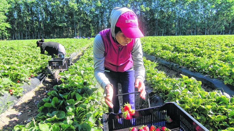 Los dos viveros de Neuquén producen 48 millones de plantines para la producción de frutillas, Foto: archivo: Oscar Livera