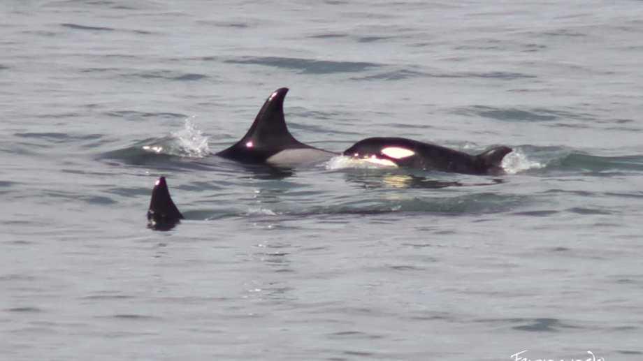 Las orcas de visita por la Lobería. Foto: gentileza Fernando Mariño.