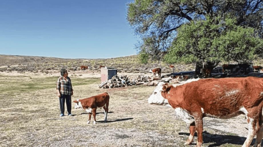En el campo solo abundan los neneos y los animales sobreviven como pueden.  Hoy apenas disponen de 200 hectáreas. Foto: gentileza