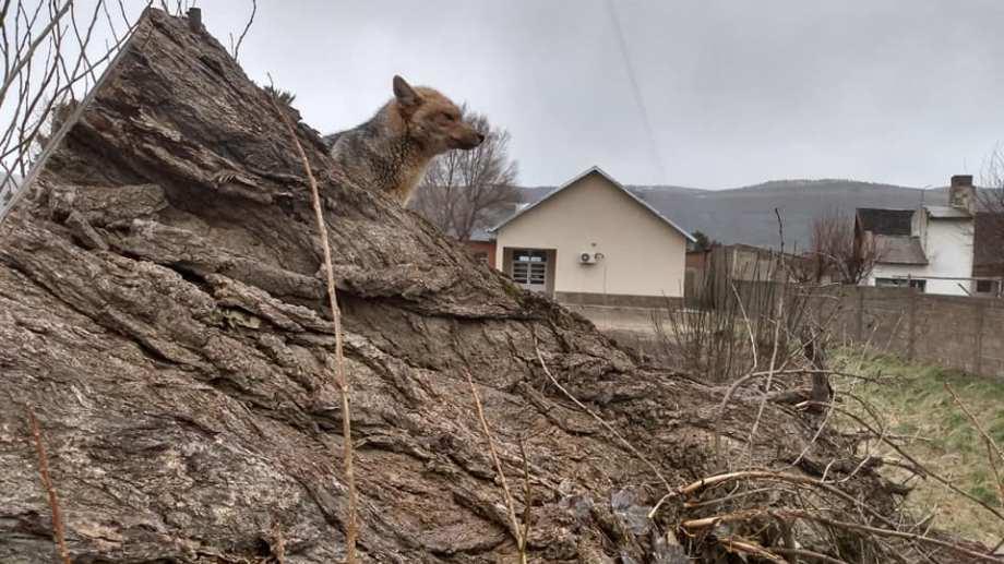 El zorro colorado descansaba sobre un tronco. Foto: Facebook abelardo.lebicura.12