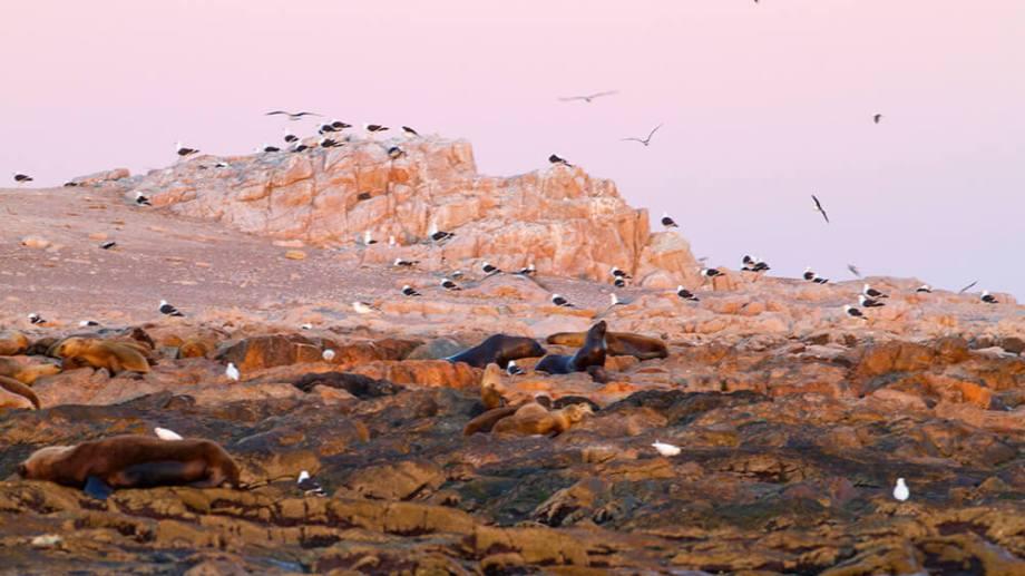 """Los primeros rayos del sol bañan la costa rocosa del islote """"Pastoza"""". Aquí descansan lobos marinos de un pelo (Otaria flavescens) junto a un grupo de gaviotas cocineras (Larus dominicanus) y algunas palomas antárticas (Chionis alba). Pastoza es el islote de mayor superficie y sitio donde se desarrolla una colonia de cría de lobo marino."""