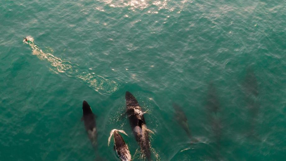 El grupo de orcas se vio desde la costa. Foto: gentileza Matías Acuña.