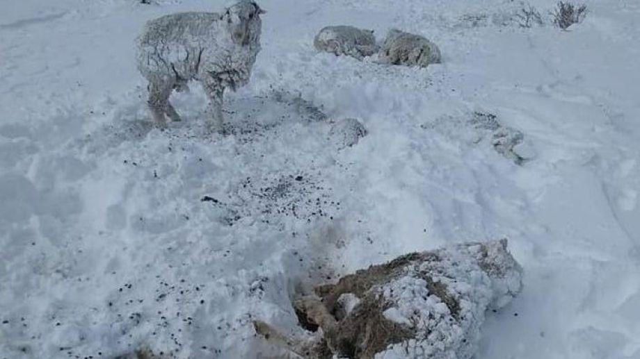 La mortandad de ganado en la Región Sur en algunos campos alcanza el 80 por ciento. Archivo José Mellado