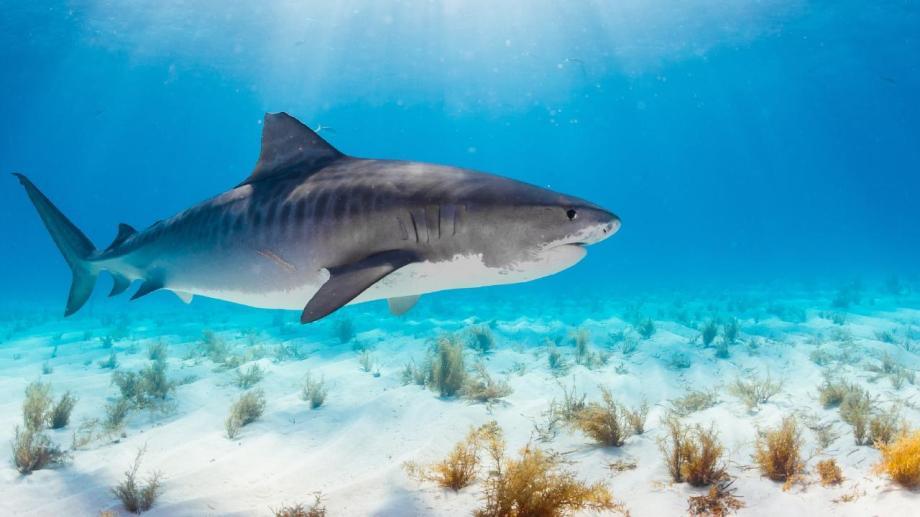 """En playas como El Cóndor, Bonita o Ensenada, los pesqueros tradicionales de la costa rionegrina enganchan """"gatuzos"""", que son crías de tiburones de unos 30 centímetros, y los dejan tirados en la playa. Los talleres de sensibilización ayudarán a crear conciencia sobre el rol de los tiburones en el ecosistema del mar."""