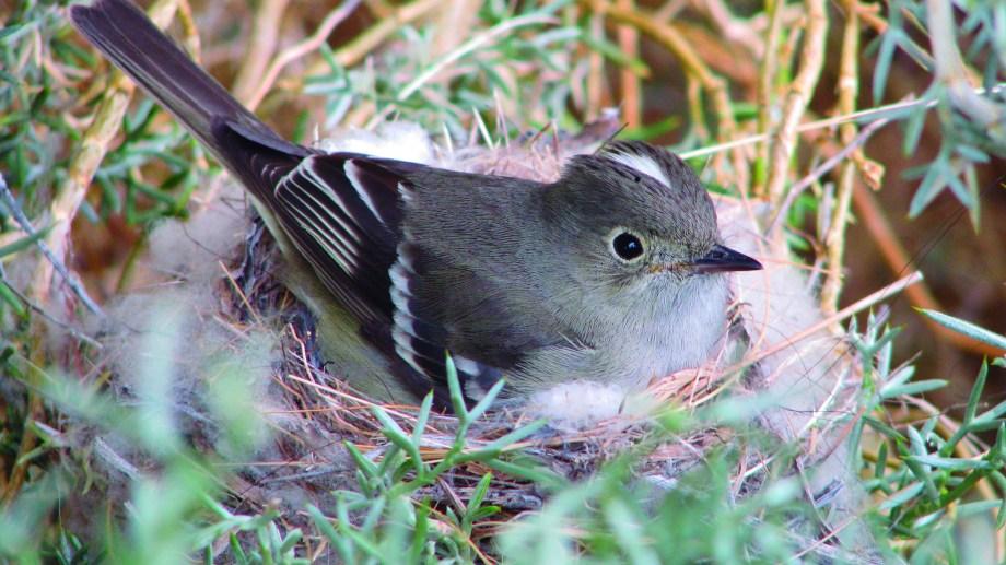 Fíofio silbón, ave migratoria que comparten Argentina y Chile.   Fotos gentileza Jorge Traveria