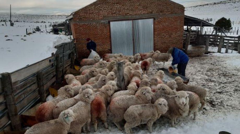 Las intensas nevadas de este invierno causaron la muerte de miles de ovejas y cabras. (Foto: José Mellado)