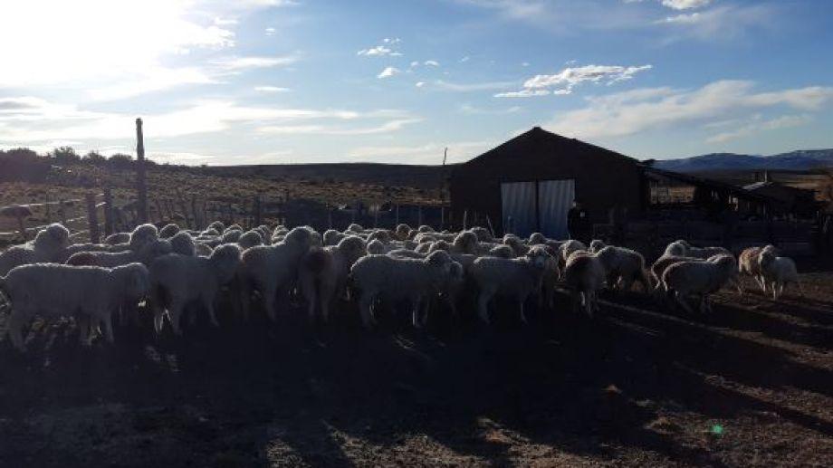 La incertidumbre reina en el sector ovino y caprino ante un mercado mundial en baja y paralizado. (Foto: José Mellado)