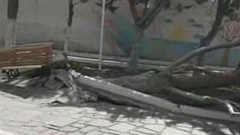 Un añoso árbol de la plaza San Martín fue arrancado de raíz por el viento en Jacobacci. (Foto: José Mellado)