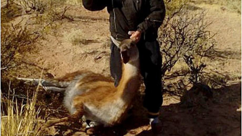 Impacto. La caza furtiva de guanaco afecta a la especie animal. También el consumo de su carne puede poner en serio la salud de las personas que viven en las ciudades, ya que la carne se comercializa sin ningún control sanitario.