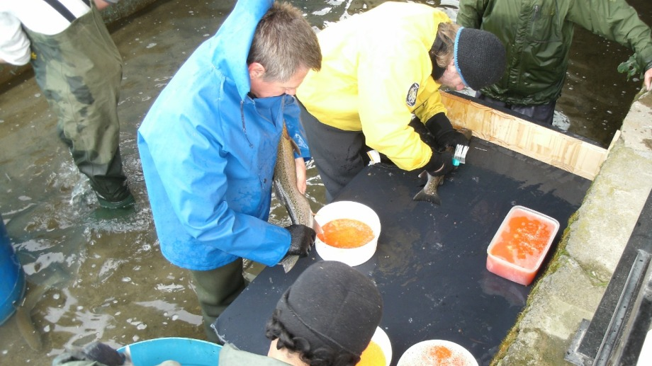 Ovas fecundadas de truchas Marrón y Arco Iris están en proceso de incubación en la piscicultura de Villa Regina. (Foto Néstor Salas)